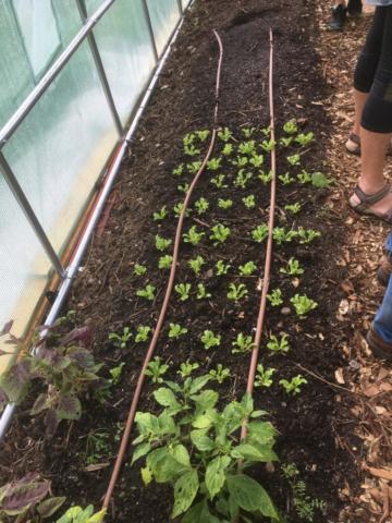 Biointense lettuce planting.